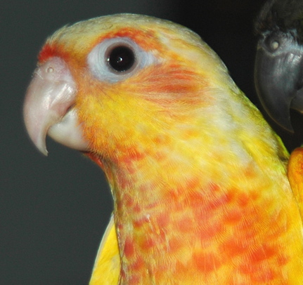 Jelly is the Pineapple coloration of a Green Cheek conure.