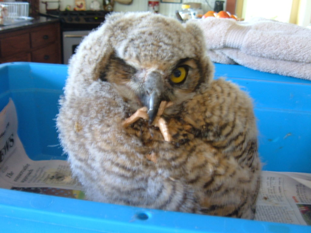 BAby Great Horned Owl with a mouth full of Chicken