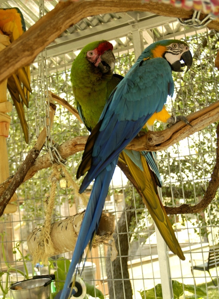 Macaws, Rocky and Major